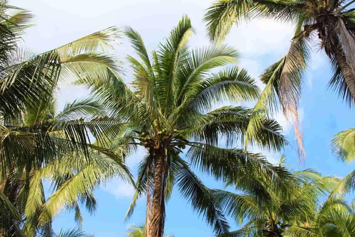 ココナッツオイルのヤシの木
