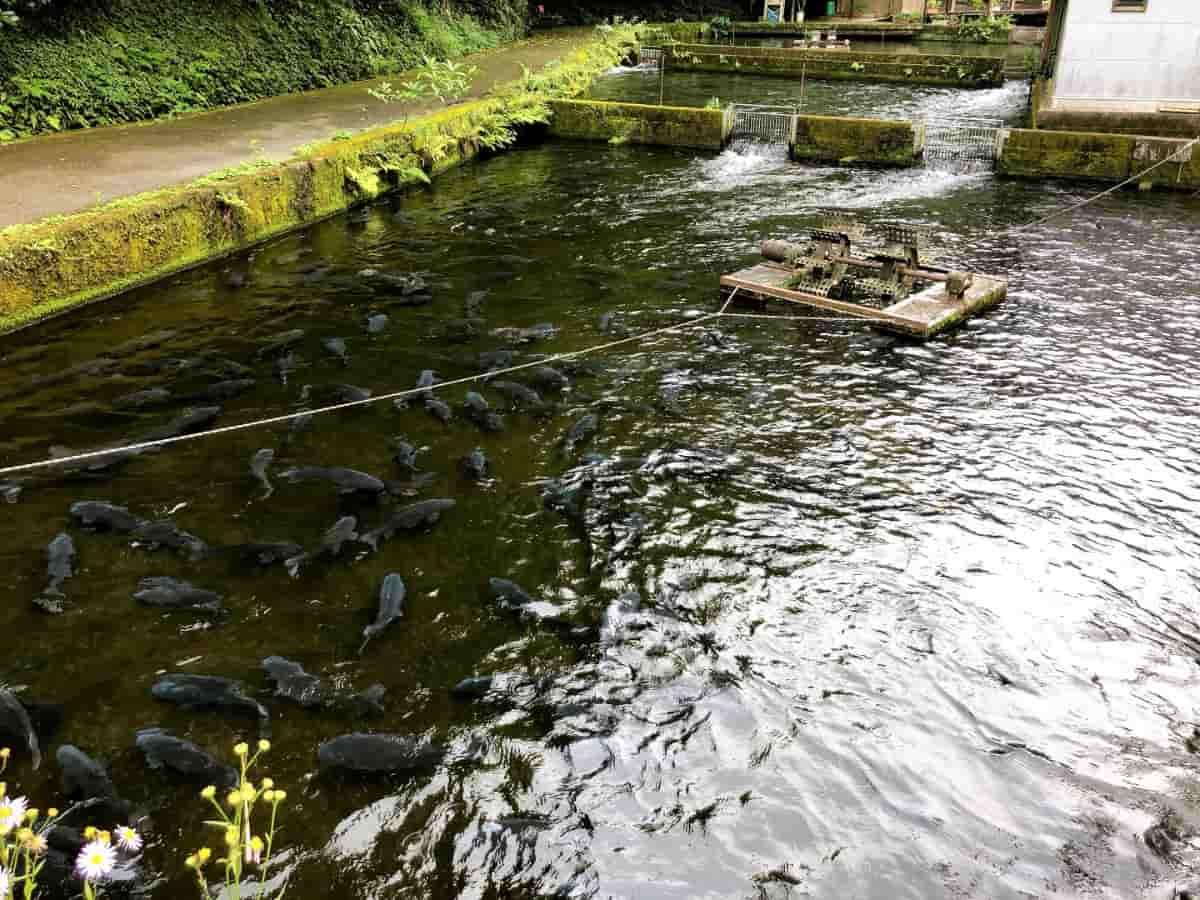 名水百選の源泉で育てられている鯉の大群