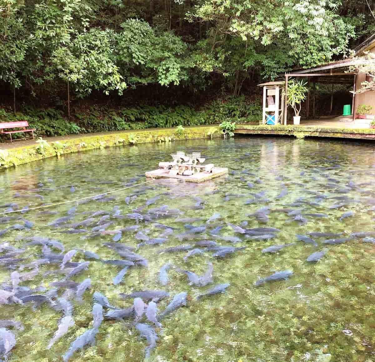 泉の鯉の大群