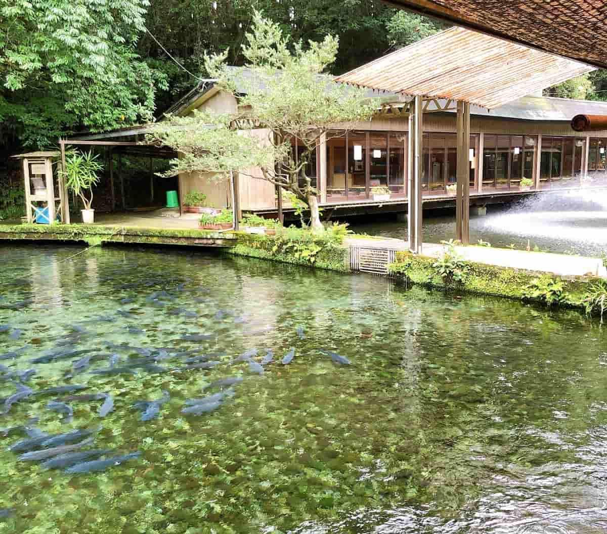 泉の鯉の鯉の大群